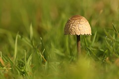 Fungi In The Grass (Derbyshire Harrier) Tags: easternmoors toadstool fungus grassland 2016 autumn bigmoor rspb nationaltrust peakdistrict peakpark barbrook cracked panaeolussp