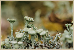 Bekermos (Cladonia) (Erik v Hassel) Tags: forrest spring green macro dof closeup ngc haps erikhaps nikon d5100 nederland holland dutch beautiful fraai excellent flickr view splendid beauty best wonderful fantastic awesome stunning incredible magic nice perfect photo image shot foto lovely yellow flower close up cladonia