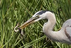 Facing Hiss Attacker (Jamie Felton Photo) Tags: lunch water heron snake greatblueheron specanimal bandedwatersnake sonya77ll sony70400glens