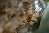 Caddisfly larva - Glyphotaelius pellucidus (markhortonphotography) Tags: markhortonphotography leaf frimleygreen hatched larva canal macro caddisfly eggmass basingstokecanal surreyheath surrey frimleylodgepark gelatinous thatmacroguy laid insect glyphotaeliuspellucidus