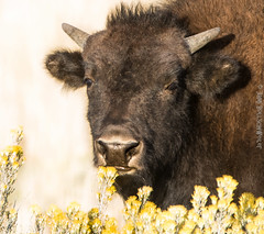 bison headshot (cuddleupcrafts) Tags: bison buffalo head shot photography yellow flowers sniffing eating pouty lip wildlife utah baby juvenile