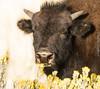 bison headshot (cuddleupcrafts) Tags: bison buffalo head shot photography yellow flowers sniffing eating pouty lip wildlife utah baby juvenile
