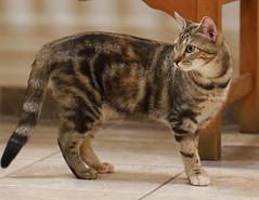 Ginger (Kerri Lee Smith) Tags: rescue cats ginger eyes tabby kitty 100mm kitties stray tabbies felines adopt vets shorthairs gingerposh