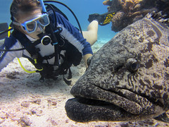 PO TA TO (Jaybre) Tags: blue sea fish nature water underwater turtle gorgeous great australia scuba diving potato anemone barrier reef cod osprey wrasse suba mikeball