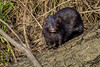 Mink. Wildlife terror (Nigel Dell) Tags: winter flickr wildlife mink riverlodden ngdphotos