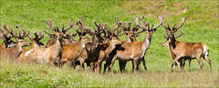 Ok which one of you is Rudolph? (Ingrid Douglas Images - ART in Photography) Tags: christmasgreetings rudolphthereindeer ingriddouglasphotography nzdeer