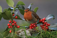 Happy Christmas From Rathdrum (Chris*Bolton) Tags: christmas xmas bird nature robin birds festive berries ngc seasonal noel holly perch birdwatcher robinredbreast supershot mywinners citrit artofimages