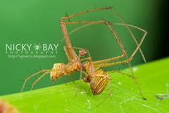 Striated Tylorida Spiders (Tylorida striata) - DSC_3303 (nickybay) Tags: macro singapore mating striated tetragnathidae striata tylorida dairyfarmnaturepark