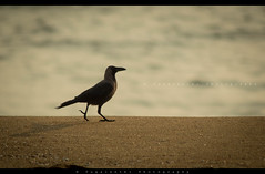 An early Morning walk ! (Pugalenthi Iniabarathi) Tags: camera sun black slr beach beautiful lens photography early photo nikon walk awesome tags newbie crow dslr chennai amateur besantnagar focallength d3200 pugal pugalenthi