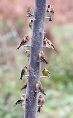Full House! (SteveJM2009) Tags: uk winter birds woodland focus december dof bokeh goldfinch seed feeder hampshire finches greenfinch 2012 stevemaskell redpoll siskin perches hants nigerseed thistleseed brambling hwt blashfordlakes