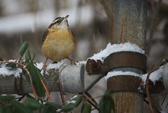 pride of the pack (JKnig) Tags: winter bird backyard birdfeeder wren beacon songbird carolinawren plumage iadoretheseweelittlebirds suchbreathtakingbeautyinteenytinybodies