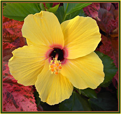 Pretty As A Picture! ('cosmicgirl1960' NEW CANON CAMERA) Tags: flowers nature yellow gardens spain parks hibiscus tropical costadelsol andalusia marbella yabbadabbadoo worldflowers