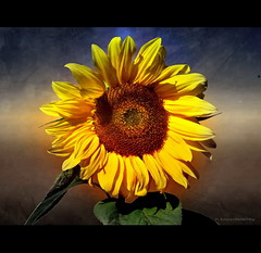 Sun Flower (h.koppdelaney) Tags: life morning summer sun flower art digital photoshop gold golden october colorful symbol dream picture philosophy september beam fantasy romantic metaphor symbolism psychology archetype koppdelaney