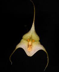 Dracula deltoidea (diabola62) Tags: dracula deltoidea