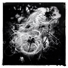 Flower (Spirit of color) Tags: camera bw black 6x6 animal blackwhite noir toycamera cellphone lumiere alain lorraine plasticcamera iphone moselle fauxlaroid iphoneography iphonographie iphoneographie cameraplus hipstamatic iphonearoid iphonearoide spiritofcolor guerquin alainguerquin snapseed