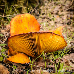 fungus among us v3.0... (Doug Churchill) Tags: california park ca usa foothills mushroom fauna forest spectacular flora rocks diverse hiking sensitive unitedstatesofamerica trail fungus backcountry urbanforest chico geology vistas citypark municipalpark bidwellpark pristine bidwell undeveloped buttecounty canyonland bigchicocreek macromondays lovejoybasalt humboldttrail anniebidwelltrail guardiantrail nikond800e