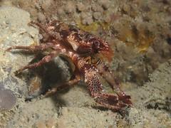 Galathea squamifera (Centro Sub Monte Conero) Tags: mar mediterraneo mare centro muck conero numana nord sabbia adriatico ancona galatea sirolo benthos galathea crostaceo squamifera