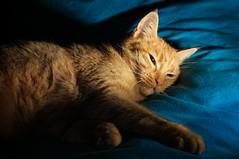 La terre est bleue comme une orange (philoufr) Tags: blue orange cat chat bleu nikkor50mmf14d boubou nikond90 sb700 ldlportraits