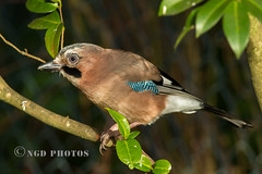 Jay (Nigel Dell) Tags: winter birds flickr jay wildlife places hampshire fleet fsg ngdphotos