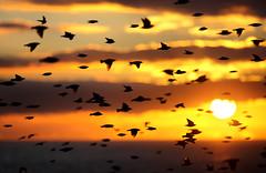 Starling Supernova (Alan MacKenzie) Tags: sunset birds brighton starling starlings murmuration moot starlingmurmuration