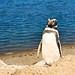 Pinguin cheio de pose