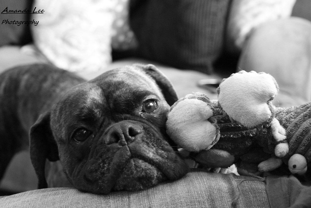 The World's Best Photos of boxers and pup - Flickr Hive Mind
