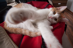 Long legs (berik) Tags: red cat ginger kat feline chat fluffy gato crumpler backpack katze paws kot kuching kucing kiska   atyrau