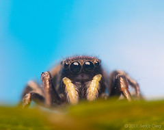 Adult Male Jumping Spider Heliophanus auratus Salticidae (Serkiz Oleg) Tags: pictures blue portrait sky macro cute art nature beauty yellow closeup bug prime spider eyes photographer arms arachnid small sigma ukraine softbox jumpingspider entomology arachnology arthropod macrophotography extensiontube salticid palps salticidae primelens chernivtsi pedipalps nikond80 heliophanusauratus automaticextensiontubeset olegserkiz