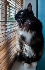 Gazing out of the window ( Percy the cat) (Fujifilm X70 28mm f2.8 Compact) (1 of 1) (markdbaynham) Tags: cat feline pet cute percy fuji fujiuk fujix transx apsc 16mp x70 28mm f28 fixed prime compact fujinon
