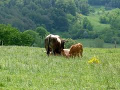 Famille...... (brigeham34) Tags: rando cheminsdecompostelle viapodiensis gr65 saugueslesauvage campagne champsetptures boisetforts valle pture veau vache taureau raceaubrac margeride chanaleilles hauteloire auvergne france fz45 eu