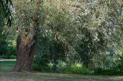 Monthou-sur-Cher (Loir-et-Cher) (sybarite48) Tags: monthousurcher loiretcher france saule st  salgueiro wierzba wilg  salice  sauce   willow weide salix aspirine aspirin   aspirina   aspiryna  arbre tree baum   rbol  albero  boom drzewo rvore  aa