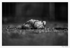 road kill (Alja Ani Tuna) Tags: 75 75365 365 road roadkill kill dead pigeon dove bird animal photo365 project365 portrait d800 dailyphoto day nikond800 nikkor nikkor85mm nature naturallight nice bw blackandwhite black blackwhite white onephotoaday onceaday monocrome monochrome grey