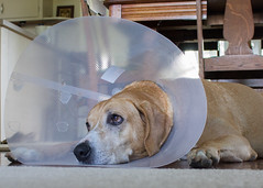 bowser cone days-2 (Chimmih) Tags: dog cone puns groundhog stiches