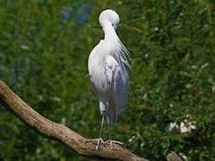 1312-39L (Lozarithm) Tags: owslebury hants marwell birds k50 55300 hdpda55300mmf458edwr aviaries herons egrets