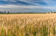 Golden Field (Rosemary.999) Tags: golden field farm season summer ottawa canada outdoor nikon d750