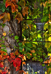 caged light (JimfromCanada) Tags: cage bars jail leaves leaf vine red green light backlight gardensunny begetation multicolor multicolour peaceful beautiful serene old