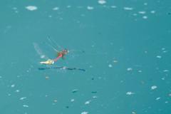 tandem  (M a r i S ) Tags: libellula dragonfly sympetrumfonscolombii cardinalevenerosse redveineddarter nomad  odonata love lovers