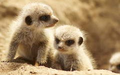 Meerkat Babies (Wilamoyo) Tags: meerkat cubs baby small cuddly cute animals mammals bautiful fun funny zoo twins two climbing nature rocks bokeh beige
