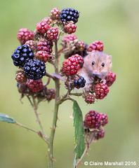 Well hello cutie! (Claire Marshall 3) Tags: field mouse bramble blackberry cute mammal canon autumn harvest