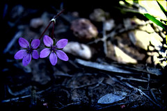 Duo (Groovyal) Tags: duo tow pare couple flower lavender purple nature eden plant wild art photography groovyal