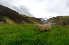Ich glaub, das Schaf hat gepupst. (Stephi 2006) Tags: