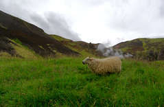 Ich glaub, das Schaf hat gepupst. (Stephi 2006) Tags: island