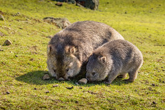Flinders Island Wombat (robertdownie) Tags: island grass maria baby australia grazing tasmania flinders wombat common vombatus ursinus bare nosed