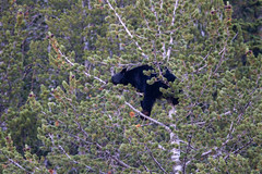 Crazy Bear In Tree 2226 (casch52) Tags: bear tree mammal animal wildlife wild nature fur cute ursus climb brown climbing cub looking big omnivore predator beautiful young fauna watching black face captive arctos forest life background portrait ursusarctos animalia nose carnivore danger dangerous joy closeup feeding eye family claws relaxing canada nordic sweet furry paw woods outdoors crazy 400mm canon f4 dois sapling antics fun