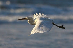 Gliding (Howard Ferrier) Tags: oceania gliding vertebrate australia flying chordate egret sea seq morning sunshinecoast happyvalley coast bird coralsea easternreefegret kingsbeach caloundra airborne queensland egrettasacra fly glide actions time