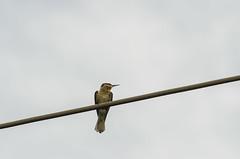 chesnut-headed bee-eater (arcibald) Tags: meropsleschenaulti beeeater chestnutheadedbeeeater bird birds aves phnompenh cambodia