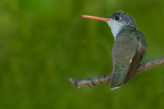 Violet-crowned Hummingbird (Amazilia violiceps) - Patagonia, AZ (bcbirdergirl) Tags: thepatoncenterforhummingbirds patagonia az arizona violetcrownedhummingbird hummer rare amaziliavioliceps usa