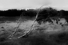 Der Wind (Velaeda) Tags: denmark bw nature trees