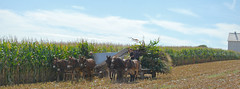 Amish Country (Catrina Coleman) Tags: pa pennsylvania amish amishcountry farm farmlife corn harvest simplelife mules muleteam