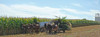 Amish Country (Catrina Coleman) Tags: pa pennsylvania amish amishcountry farm farmlife corn harvest simplelife mules muleteam